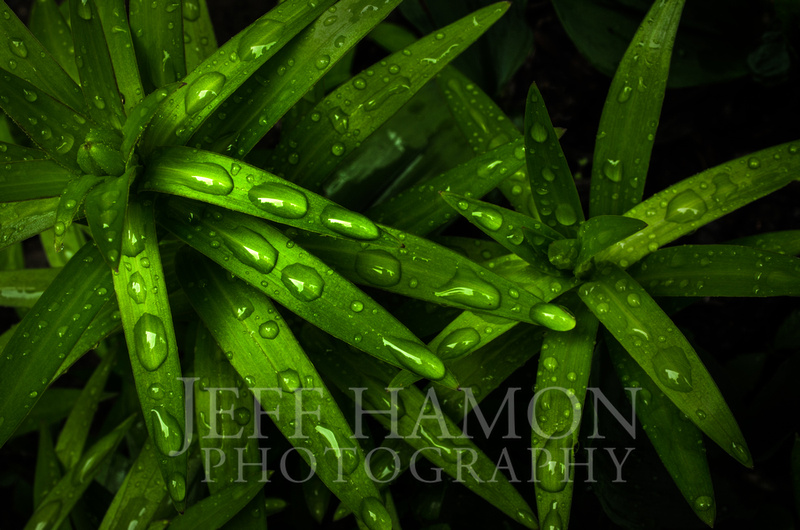 Water on Lily 01